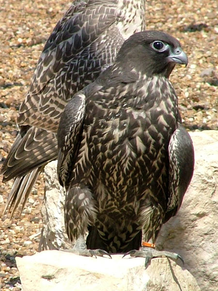 young_falcons_04