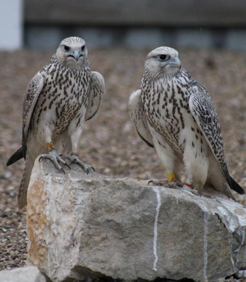 young_falcons_12